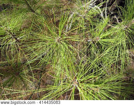 Pine Green Thin Leaves Background. Canary Pine Leaves Close Up. Brightly Green Prickly Branches Of A