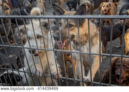 A Pack Of Homeless Dogs Locked In A Shelter Metal Cage. Concept Of Homeless Dog Shelter