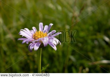 Aster Alpinus Flower Knows As Blue Alpine Daisy In Mala Farta Mountains In Slovakia With Blurred Bac