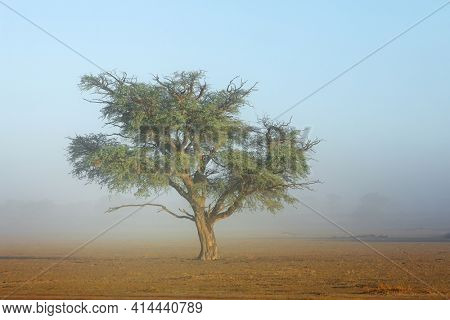 Scenic landscape with a tree in mist, Kalahari desert, South Africa