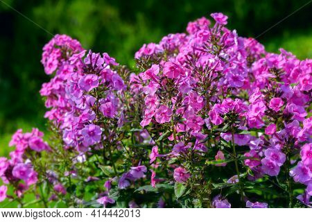 Bush Of Blooming Phlox Paniculata Pink Flame   Flowers In The Garden On A Sunny Day