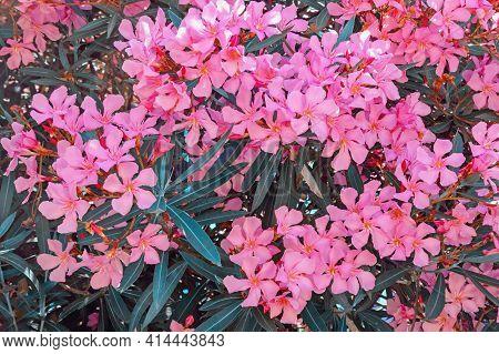 Bright Pink Flowers Of Oleander Tree - Nerium Oleander . Color Toning