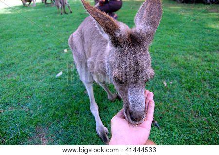 Kangaroo Eats From Hand