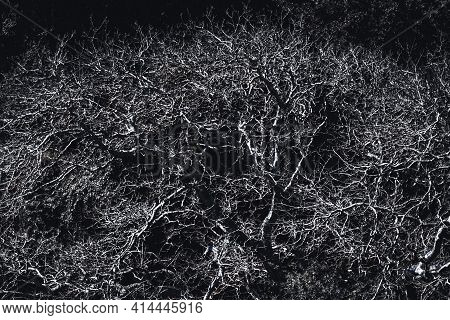 A Contrast Shot Of A Huge Treetop And The Crown With Numerous Branches; A Bare Tree Outdoors On A Su