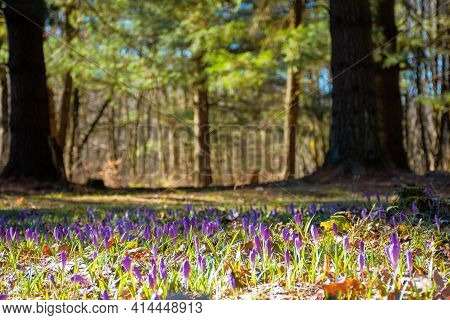 Forest Glade Nature Background In Spring. Crocus Flowers On The Glade In Sunlight. Trees In The Blur