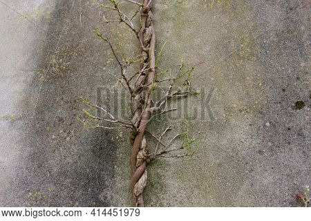 Detail Of The Twisted Trunk Of A Wisteria Vine Decorated With Young Shoots. The Trunk Of Wisteria Ag