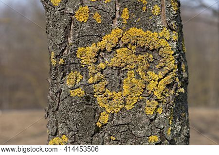 Close Up Of Xanthoria Parietina. Yellow Scale On The Bark Of A Tree. Moss On A Branch. Textured Wood