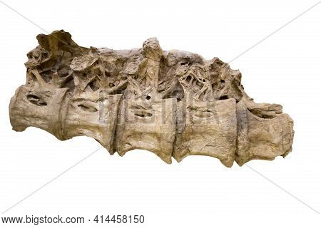 The Five Dorsal Vertebrae Of A Sauropod Are Isolated On A White Background. Paleontology Late Cretac