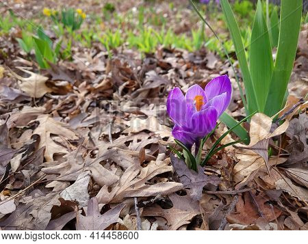 Bright Purple Crocus In Dead Brown Oak Leaves
