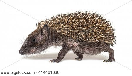 Side view of a baby European hedgehog walking on a white background
