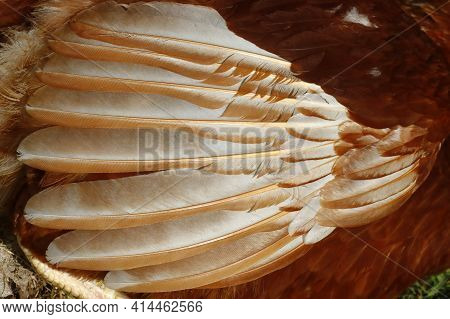 Plumage Of A Chicken Close-up, Structured Background For Design.