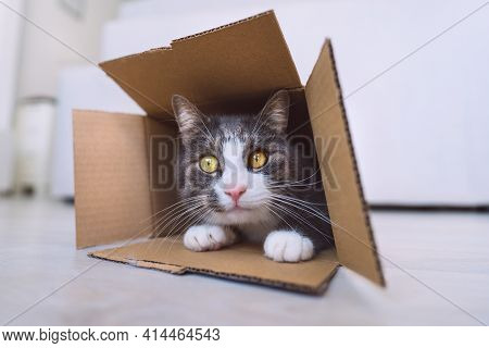 Funny Cute Tabby Cat Inside Cardboard Box. Cat Looking Out Of The Box At Camera