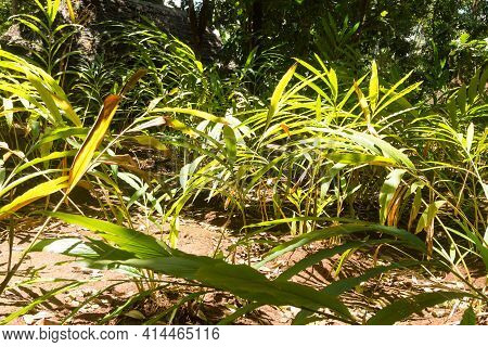 Cardamom Cultivation From Zanzibar, Tanzania. Spices Cultivation. Natural Food