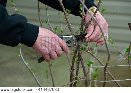 Cutting The Bush With Scissors Cut Trimming