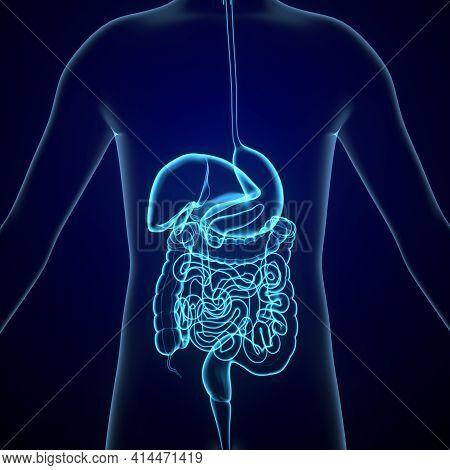 3d Illustration Of Human Digestive System Stomach Anatomy.