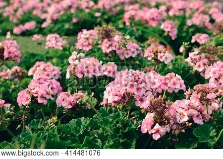 Pink Geranium Flower Blossom In A Garden, Spring Season, Nature Background