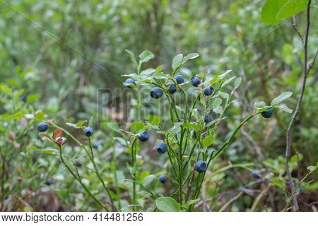 Forest Juicy Large Bright Blue Blueberries On A Bush In The Forest. Blueberry Gradually Turns Red An