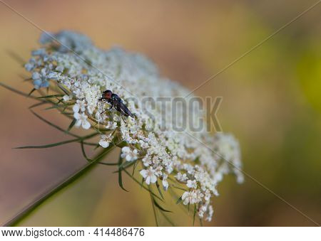 Little Beautiful Fly Sits On Small White Flowers, Close-up. One Black Little Fly On A White Wild Flo