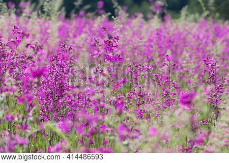 Viscaria Vulgaris. Delicate Red Wildflowers. Beautiful Purple Flowers Of Viscaria Vulgaris Growing I