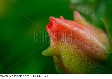 Macro Shot A Flower Bud Close-up Picture