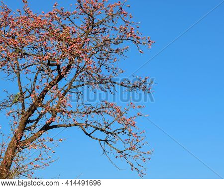 Red Cotton Tree Also Known As Malabar Silk-cotton Tree Which Bloom Red Beautiful Flowers In The Summ