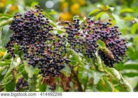 Elderberry Bush. Black Elderberries On The Bush