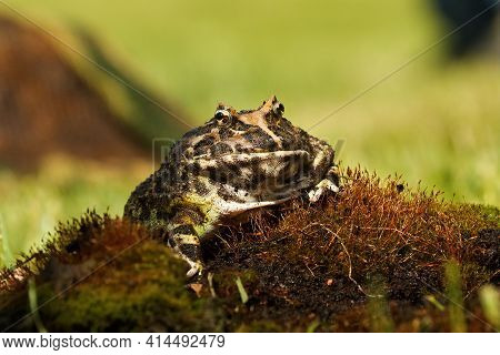 The Horned Frog (ceratophrys Ornata), Also Known As Wide-mouthed Frog, Or Ornate Frog, Sitting On A