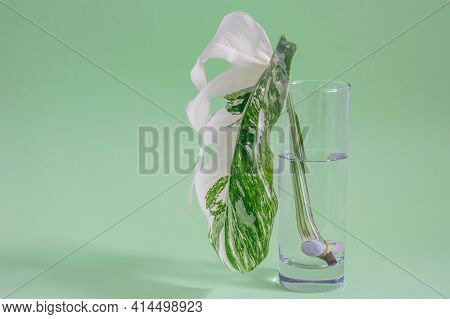 Monstera Half Moon Leaf In Glass With Water Closeup. White And Green Leaf Of Monstera Variegada. The
