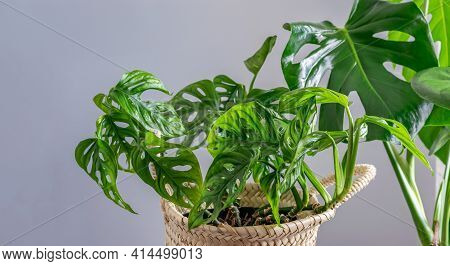 Set Of Two Home Tropical Plants. Monstera Swiss Cheese Plant Or Monstera Deliciosa And Monstera Monk