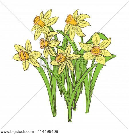 Vector Grunge Illustration Of Growing Yellow Daffodils Isolated On White Background. Flat Vintage Cl