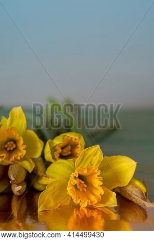 Background. Yellow Daffodils Buds In Dark Lighting. Close-up Of Flowers Daffodils On A Reflective Su