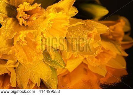 Dark Background Of Water Droplets On Yellow Daffodils Buds In Dark Lighting. Beautiful Flowers Daffo
