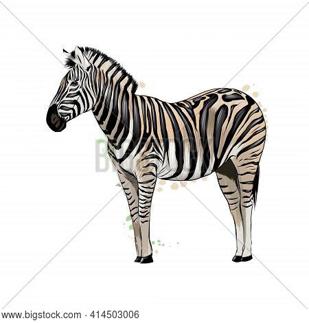 Zebra From A Splash Of Watercolor, Colored Drawing, Realistic. Vector Illustration Of Paints