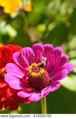 Bumblebee And Flower. One Large Bumblebee Sits On A Pink Flower On A Sunny Bright Day. Macro Horizon