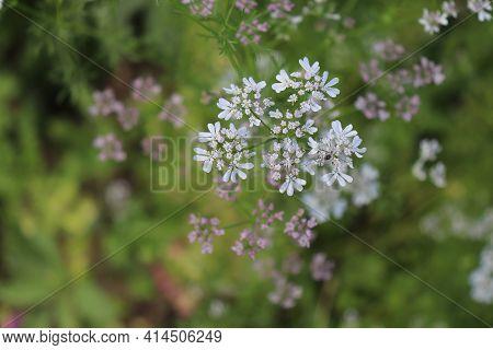 Coriander, Coriandrum Sativum In An Organic Garden.   It Is Also Known As Chinese Parsley. All Parts