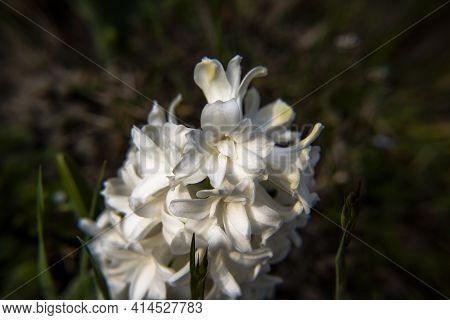 2021_03_13 Hyacinthus Orientalis_3