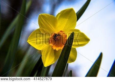 2021_03_13 Narcissus Pseudonarcissus_1