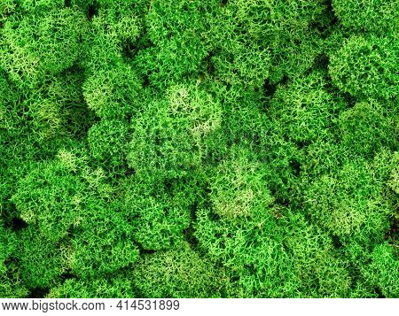 Moss Texture Background, Macro View Of Green Reindeer Moss Grows In Forest Marsh Or Home Garden. Abs
