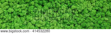 Moss Texture Background, Panoramic Banner With Green Reindeer Moss In Home Garden Or Indoor. Panoram