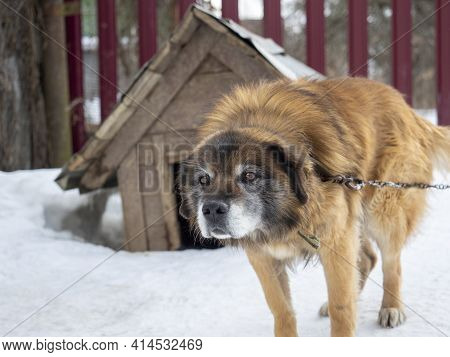 A Guard Dog On A Chain Near The Kennel In Winter. Defender, Home Guard. Animals