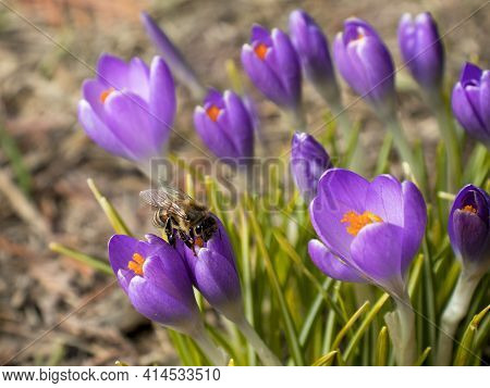 Crocuses Close Up With A Bee Collecting Nectar In Early Spring. Spring Background.