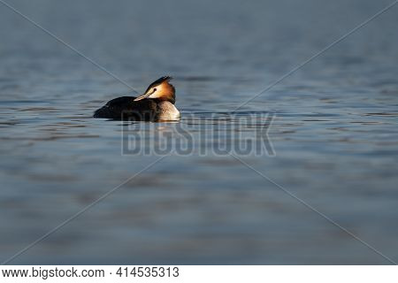 Great Grested Grebe (podiceps Cristatus) Swimming On A Blue Lake In A Morning Spring
