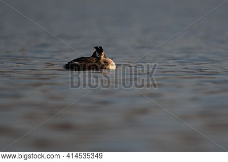 Great Crested Grebe (podiceps Cristatus) Resting On Water In Spring