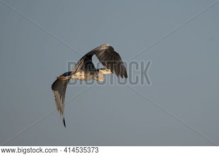 Great Grey Heron (ardea Cinerea) Flying Against Blue Sky In Spring