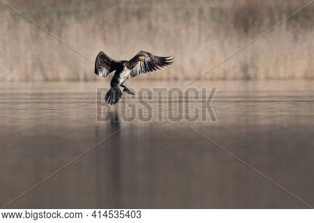 The Great Cormorant (phalacrocorax Carbo) Flying And Landing On Water In Spring