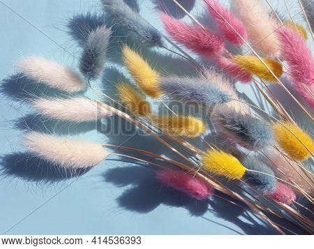 Flower Lagurus Fluffy On Colored Background Frame