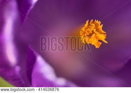 Beautiful Macro View Of Violet Spring Crocus Flowers With Yellow Stigma, Marlay Park, Dublin, Irelan