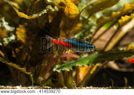 Neon In Freshwater Aquarium With Green Beautiful Planted Tropical. Fish In Freshwater Aquarium With