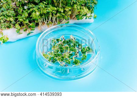Microgreens Close Petri Bowl Laboratory Microgreens Samples Healthy Nutrition Germination Of Microgr