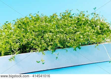 Microgreens On A Blue Background In A White Wooden Container For Sprouting Greens. Green Food. Super